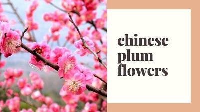 Chinese Plum Flowers | FAIR Inc
