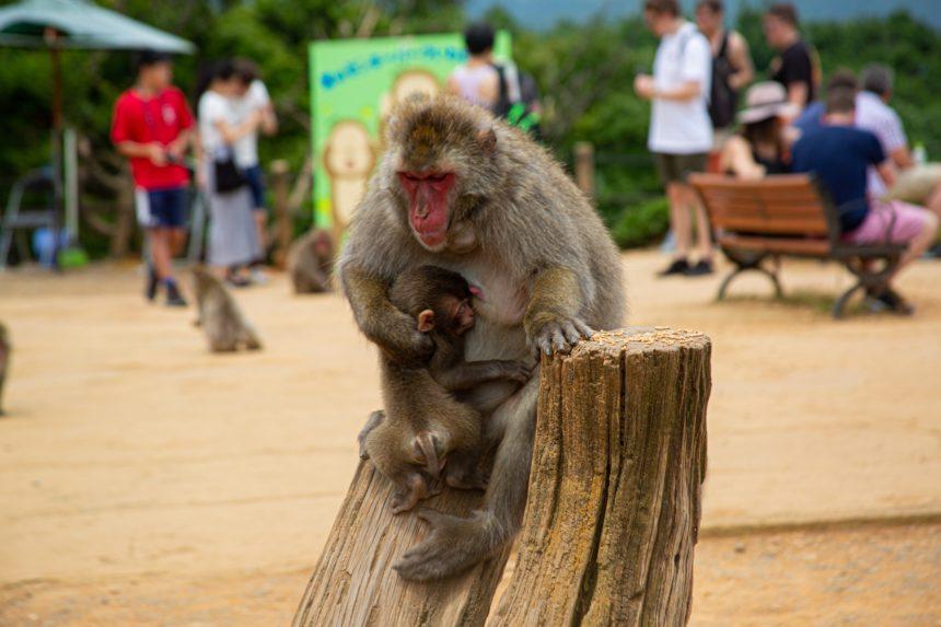 Iwatayama Wild Monkey | FAIR Inc