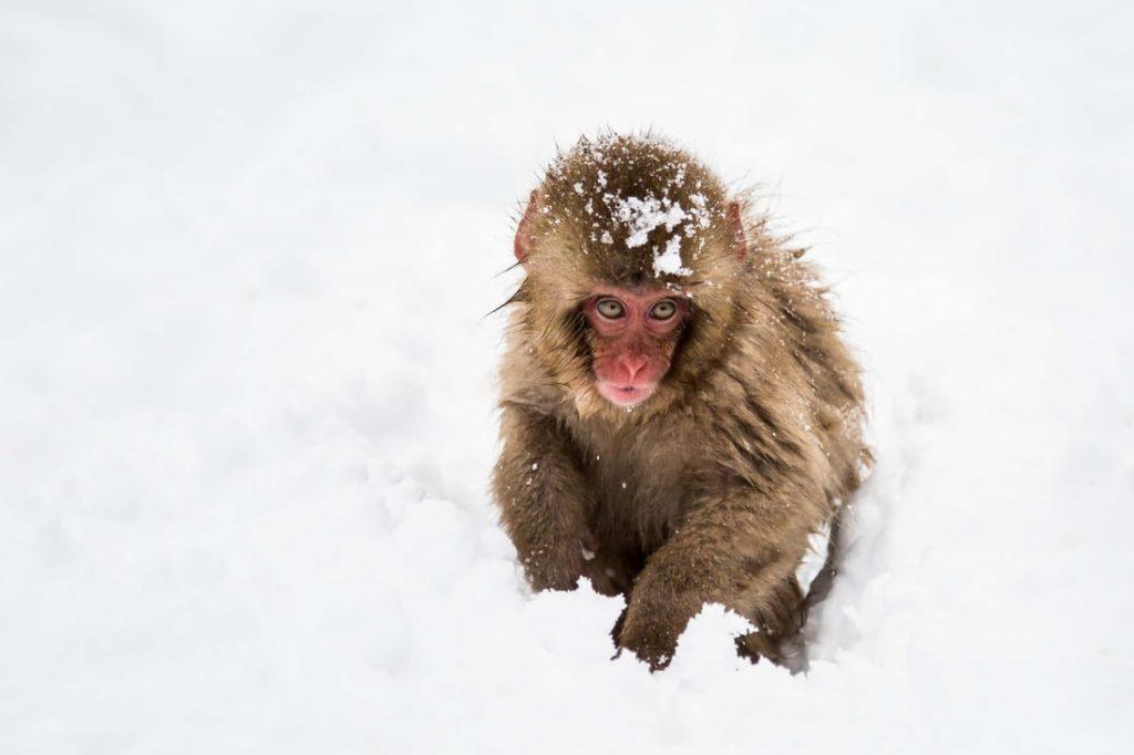 Hotspring Bathing Monkey | FAIR Inc